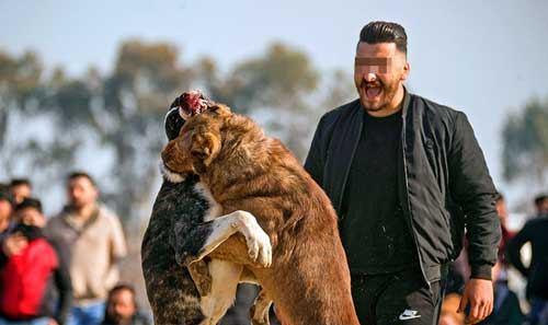 شرط بندی در جنگ سگ ها Dog Fight Betting
