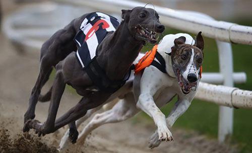 استراتژی شرط بندی در مسابقات سگ دوانی